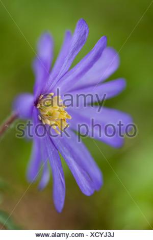 Blue Shades Windflower (Anemone blanda Blue Shades), Kassel, Kassel, Hesse, Germany - Stock Photo