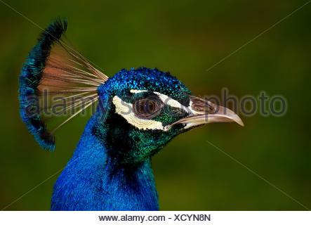 common peafowl - Stock Photo