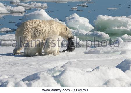 Female Polar bear Ursus maritimus dragging a ringed seal Pusa hispida or phoca hispida and accompanied by two cubs Svalbard - Stock Photo