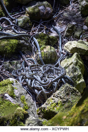 Red-sided Garter Snakes (Thamnophis sirtalis parietalis) in a mating ball in the Narcisse Snake Dens, Narcisse, Manitoba, Canada - Stock Photo