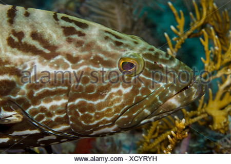 Closeup of Black grouper - Stock Photo