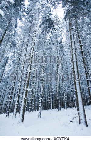 Spruces in the snow, wood waste - Stock Photo