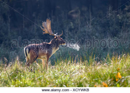 Fallow deer (Dama dama), stag in autumn, cold morning, Schaufler, Saxony, Germany - Stock Photo