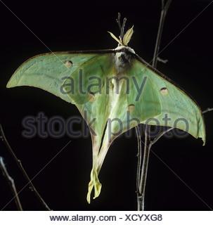 Indian Moon moth Actias selene moth backlit against a dark background - Stock Photo
