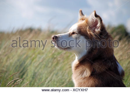 animal pet portrait dog biology zoology blue holiday vacation holidays vacations animal pet brown brownish brunette blank - Stock Photo
