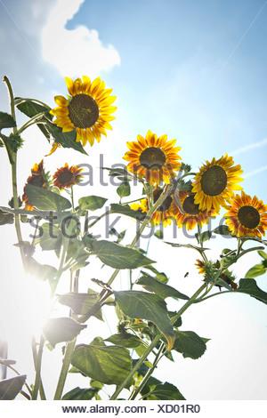 Sunflowers (Helianthus annuus), backlit, Stuttgart, Baden-Wuerttemberg - Stock Photo