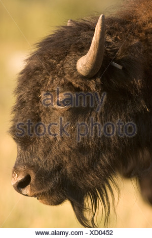 Closeup of the head of a bison in Custer State Park, South Dakota. - Stock Photo