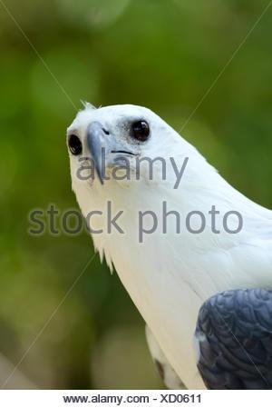 white bellie sea eagle in nature - Stock Photo