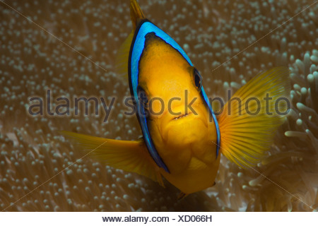 Orange-fin Anemonefish, Amphiprion chrysopterus, Gau, Lomaiviti, Fiji - Stock Photo