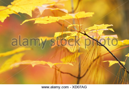 Autumn coloured leaves of a Sugar Maple (Acer saccharum) and dry pine needles (Pinus) during Indian summer in a National Park i - Stock Photo
