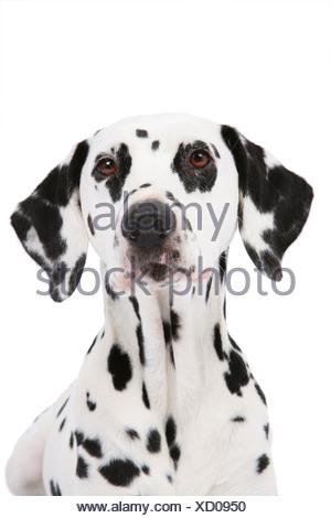 Dalmatian (Canis lupus f. familiaris), portrait of an Dalmatian - Stock Photo