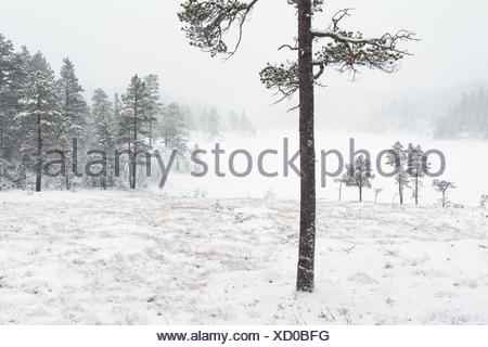 Scots pine, Pinus sylvestris, in snow covered winter landscape. - Stock Photo