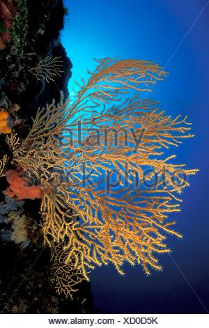 Yellow Sea Fan Eunicella cavolini Vela Luka Korcula Island Dalmatia Adriatic Sea Croatia - Stock Photo