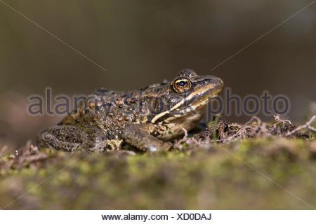 Columbia spotted frog (Rana luteiventris), ThompsonNicola region, British Columbia. - Stock Photo