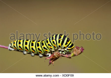 Germany, Bavaria, Caterpillar of the swallowtail butterfly (Papilio machaon) on plant stem, close-up - Stock Photo