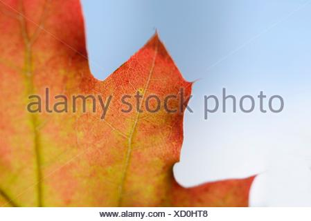 Close-up of a red oak leaf, Quercus rubra, Upper Palatinate, Bavaria, Germany, Europe - Stock Photo