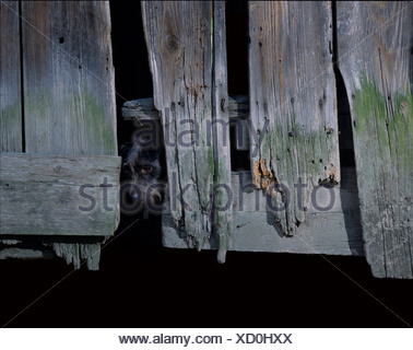 Mutt looking out from behind the door of an old barn - Stock Photo