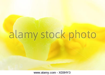 interior of white lily flower, detail of pistil and stamen - Stock Photo