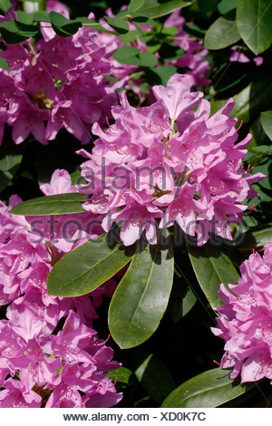 Catawba rhododendron, Catawba rose bay (Rhododendron catawbiense), blooming - Stock Photo