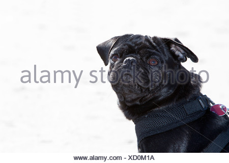 Black pug, portrait - Stock Photo