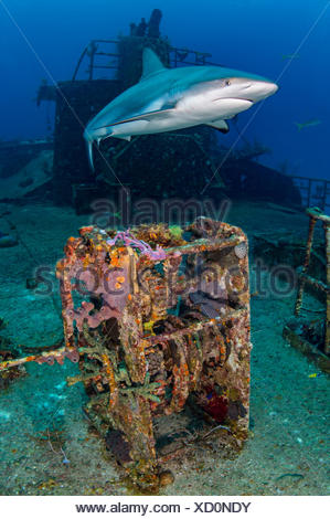 Female Caribbean reef shark (Carcharhinus perezi) cruises over Ray Of Hope wreck. Nassau, New Providence, Bahamas. Bahamas Sea, West Atlantic Ocean. Bahamas National Shark Sanctuary. - Stock Photo