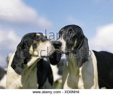 Great Anglo-French White and Black Hound, Portrait against Blue Sky - Stock Photo