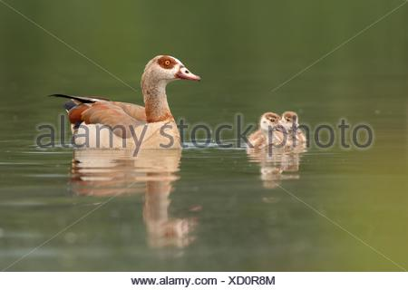 mother with fledglings - Stock Photo