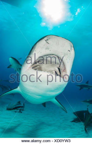 Tiger Shark, Galeocerdo cuvier, Tiger Beach, Bahamas - Stock Photo