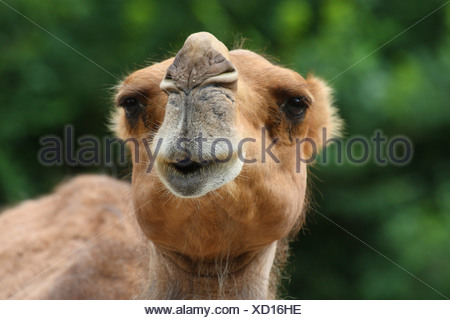 dromedary, one-humped camel (Camelus dromedarius), portrait - Stock Photo
