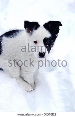 Border Collie Puppy Dog sitting in snow - Stock Photo