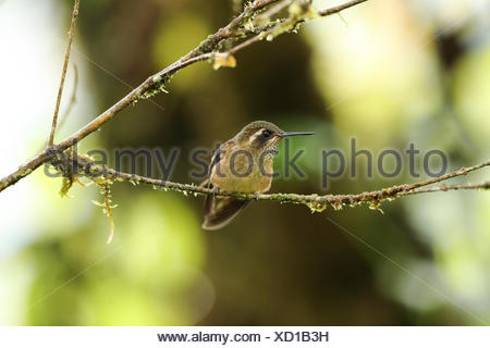 Speckled Hummingbird, Adelomyia melanogenys, perched in a bush in the montane rainforest. - Stock Photo