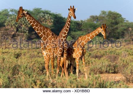Three Somali or reticulated giraffes (Giraffa reticulata camelopardalis), Samburu National Reserve, Kenya