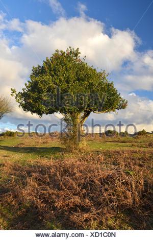 Holly Ilex aquifolium Aquifoliaceae - Stock Photo