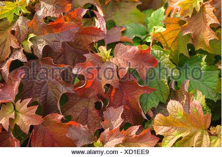 Oak-leaved hydrangea (Hydrangea quercifolia), autumn foliage - Stock Photo