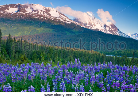 A field of lupine and Paradise Peak, Chugach National Forest, Alaska. - Stock Photo