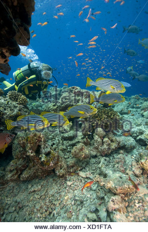 Scuba diver watching a shoal of Oriental sweetlips (Plectorhinchus vittatus), anthias at back, Maldives, Indian Ocean, Asia - Stock Photo