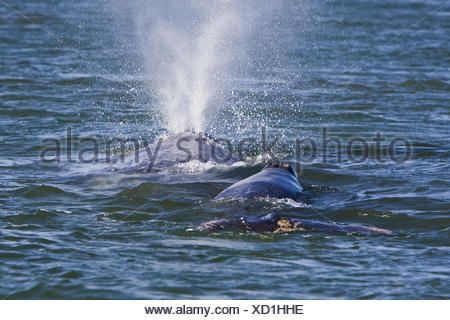California Gray Whale mother and calf (Eschrichtius robustus) in Magdalena Bay near Puerto Lopez Mateos on the Pacific side of - Stock Photo