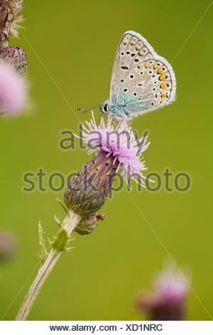 common blue (Polyommatus icarus), at boar thistle, Germany, Thueringen - Stock Photo
