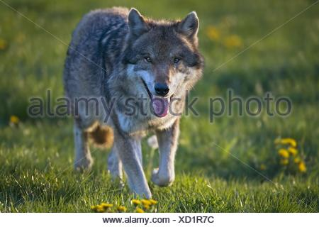 walking European wolf - Stock Photo