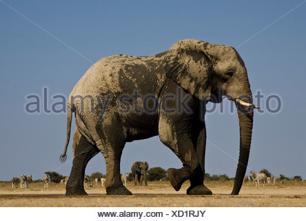 Elephant at Waterhole, Etosha National Park, Namibia - Stock Photo