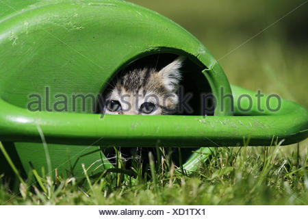 Meadow, watering can, house cat, young animal, hides, look out, animal, mammal, cat, pet, outside, animal child, kitten, striped, curiously, discover, conception, hiding place, exploratory expedition, - Stock Photo