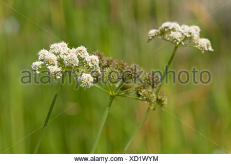 parsley water-dropwort (Oenanthe lachenalii), blooming, Germany - Stock Photo