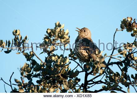 Song Thrush Turdus philomelus singing Andalucia Spain - Stock Photo
