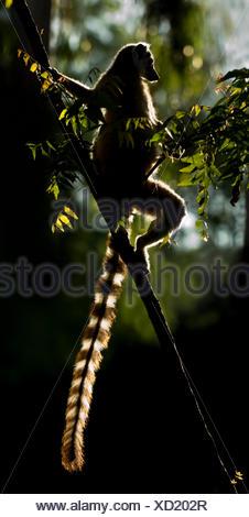 Ring-tailed Lemur (Lemur catta) sun basking at dawn. Berenty Private Reserve, southern Madagascar. - Stock Photo