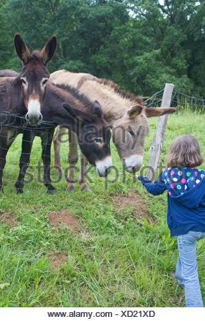 Beautiful caucasian little girl in blue jacket and jeans feeding donkey on a farm. - Stock Photo