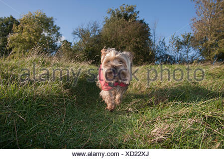 Yorkshire terrier in red coat walking in countryside - Stock Photo