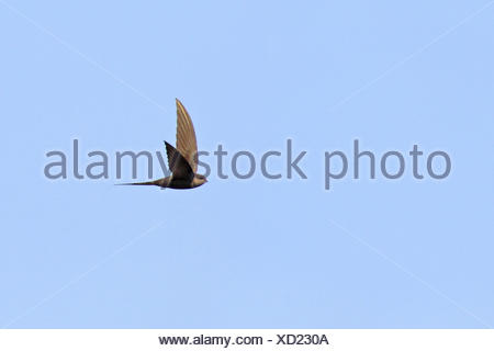 African palm swift (Cypsiurus parvus), flying bird, South Africa, Pilanesberg National Park - Stock Photo