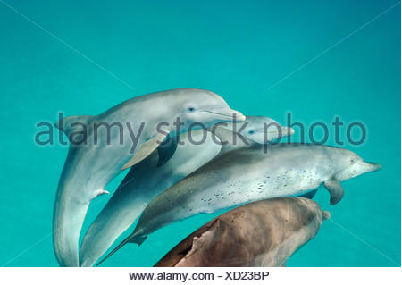 Interspecies mating between Atlantic spotted dolphins and bottlenose dolphin in the waters off Bimini in the Bahamas. - Stock Photo