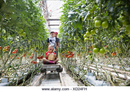 Father and children with cart harvesting tomatoes growing on tomato plant in greenhouse - Stock Photo