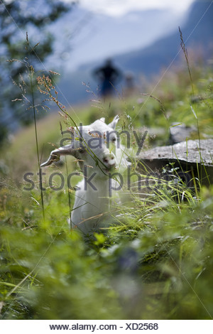 Baby Goat, Geiranger, More og Romsdal, Norway, Europe - Stock Photo